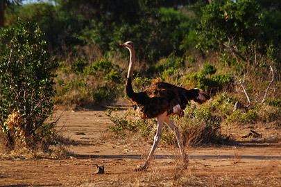 Fotoalbum von Malindi.info - Safari 2 Tage Tsavo East Oktober 2020[ Foto 55 von 84 ]