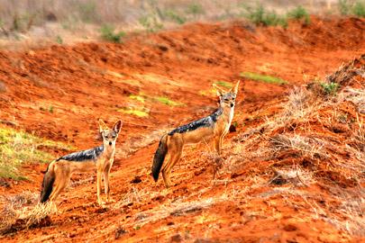 Fotoalbum von Malindi.info - Safari 2 Tage Tsavo East Oktober 2020[ Foto 71 von 84 ]