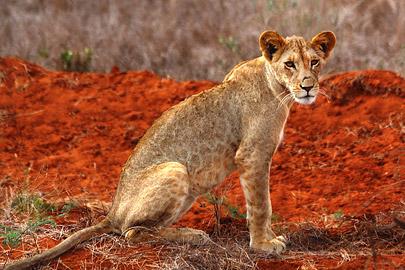 Fotoalbum von Malindi.info - Safari 2 Tage Tsavo East Oktober 2020[ Foto 75 von 84 ]
