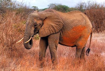 Fotoalbum von Malindi.info - Safari 2 Tage Tsavo East Oktober 2020[ Foto 79 von 84 ]