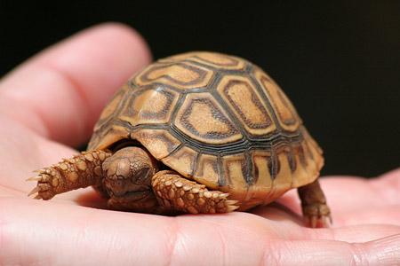 Ein kleines Schildkrötenbaby darf man auch mal halten