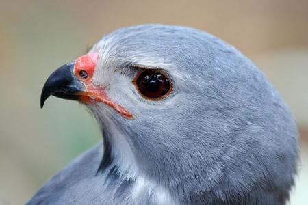 In der Falconry findet man die unterschiedlichsten Greifvögel