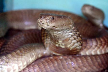 Die giftspuckende Kobra macht ihre Opfer erst blind bevor sie zubeisst