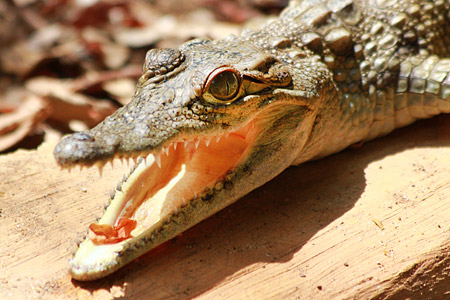 Junges Krokodil beim Sonnenbaden